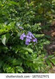 Duranta erects is a species of flowering shrub in the verbena family verbenaceae. The leaves are green and the flowers are light blue or lavender. Common names of golden dewdrop and pigeon berry