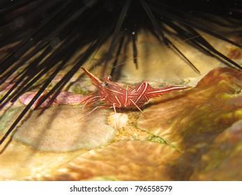 Durban Dancer Shrimp on coral