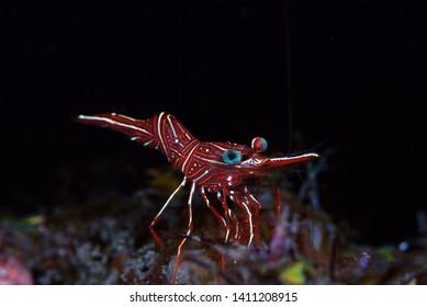 Durban dancing shrimp -Rhynchocinetes durbanensis. Underwater macro photography. Tulamben, Bali, Indonesia.
