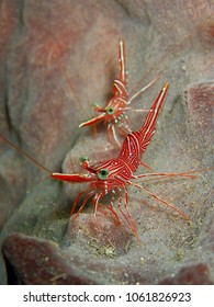 Durban dancing shrimps (Rhynchocinetes durbanensis) on sponge