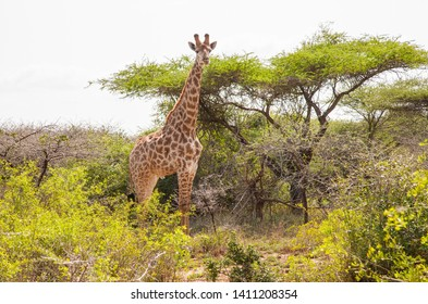 DURBAN, SOUTH AFRİCA- OCTOBER 14, 2017: Giraffes are live in Hluhluwe iMfolozi Park in South Africa. They're under protection.