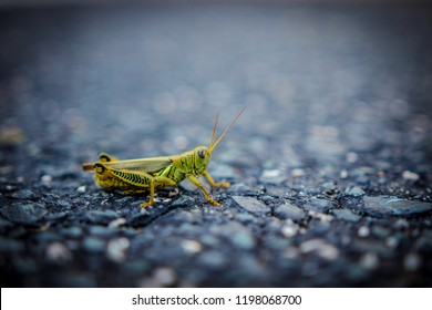 Durham, North Carolina / United States - October 4, 2018: Green Grasshopper
