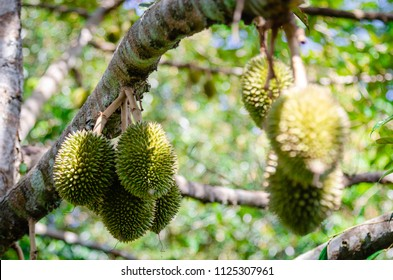 Durian durian fruit is fresh on the tree. - Durian is a king of fruits and can grow in suitable conditions. Durian tree is a special and useful plant.