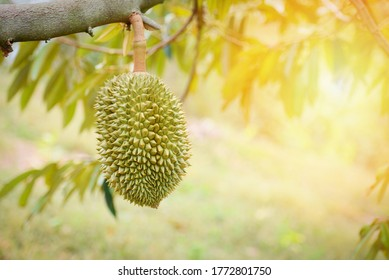 Durian fruit hanging on the durian tree in the garden /