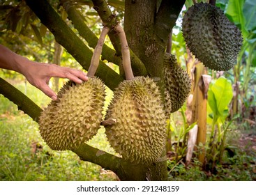2 tree //Complete durian tree genus for planting from thailand. NEW
