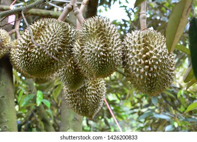 durian fruit on tree. durian are king of fruit in Thailand.