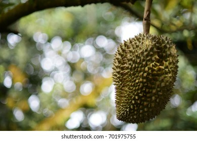 Durian hang on tree,Durin is a king fruit