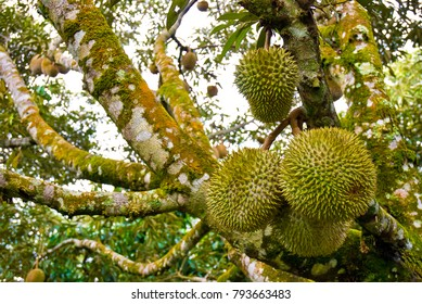 Durian the King of Fruits, is a popular tropical fruit in asian countries.