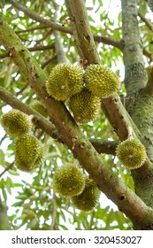Durian on the tree,Thailand.