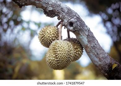 durian is ripe, ready to harvest and can be eaten immediately