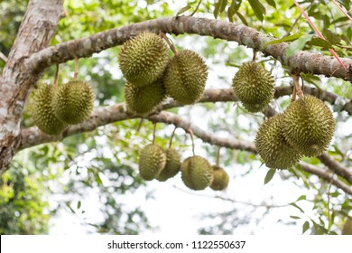 Durian tree, Fresh durian fruit on tree, Durians are the king of fruits, Tropical of asian fruit.