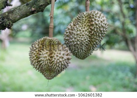 efeb914d60399 Durian tree, Fresh sweet delicious Thai Asian healthy sweet tasty fruit on  tree green out