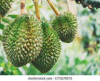 Durian tropical fruit on tree