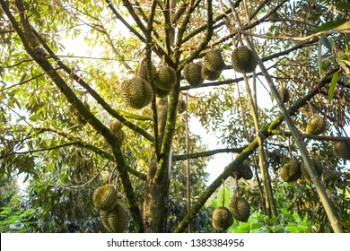 Durians on the durian tree in durian orchard . King of fruit.