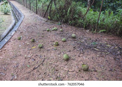 Durians on the ground. Time to collect.