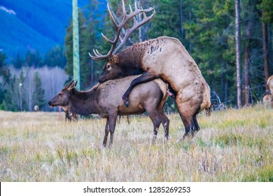 During the rut the alpha bull elk gets control of the harem