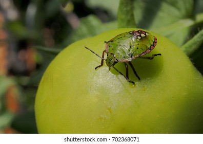 During the summer, the tomatoes are attacked by bugs that distort the surface of the fruits and make them unsaleable. These insects measure a few millimeters but in macro mode they are impressive.
