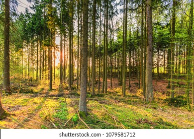 During sunrise awakening forest wth pine trees  in German Vulkaneifel in Gerolstein with Brown fallen leaves and by rain water eroded gullies