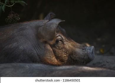 Duroc pig (Sus scrofa f. domesticus).