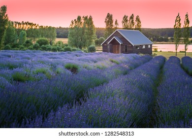 Dusk over Lavender field in full blossom.