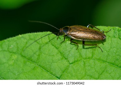 A Dusky Cockroach is resting on a green leaf.