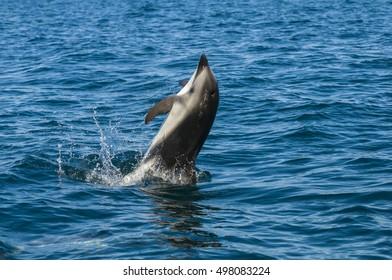 Dusky dolphin jump