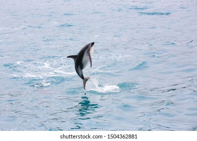 Dusky dolphin jumping at sunset near the coast in Kaikorua, New Zealand. The rare dusky dolphin (Lagenorhynchus obscurus) is known for its remarkable acrobatics.