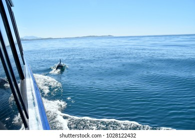 Dusky dolphin swimming ahead of the tour boat in Kaikoura