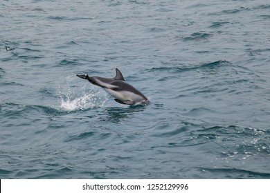 Dusky dolphin swimming off the coast of Kaikoura, New Zealand. Kaikoura is a popular tourist destination for watching and swimming with dolphins.