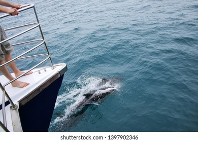 Dusky dolphins swimming near the boat off the coast of Kaikoura, New Zealand. Kaikoura is a popular tourist destination for watching and swimming with dolphins.