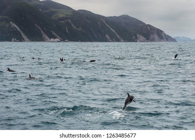 Dusky dolphins swimming off the coast of Kaikoura, New Zealand. Kaikoura is a popular tourist destination for watching and swimming with dolphins.
