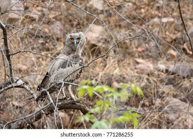 Dusky eagle owl resting on one of the tree branch in Ranthambhore Tiger Reserve