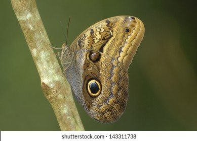 Dusky Giant Owl butterfly (Caligo illioneus) in Costa Rica rainforest