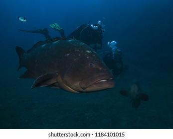 "Dusky Grouper (Epinephelus marginatus) with diver at the mediterranean dive site ""Grouper City"" near the island of Lavezzi, Corsica, France"