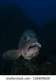 "Dusky Grouper (Epinephelus marginatus) at the mediterranean dive site ""Grouper City"", near Lavezzi Island, Korsika, France"