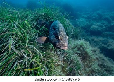Dusky Grouper (Epinephelus marginatus) of Mediterranean sea.