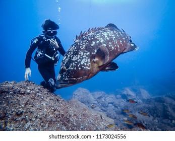Dusky Grouper and SCUBA Diver