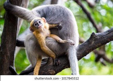 Dusky Langur Monkey baby or Dusky Leaf Monkey baby on the tree, Prachuap Khiri Khan, Thailand