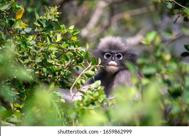 Dusky Langur Monkey or Dusky Leaf Monkey at Ao Manao, Prachuap Khiri Khan, Thailand