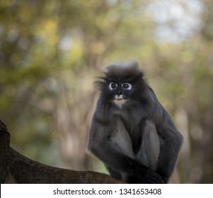 Dusky Langur (Trachypithecus obscurus) Being in the tree is the sex of the adult.