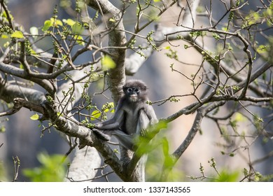Dusky Langur (Trachypithecus obscurus)  Childhood on the tree.