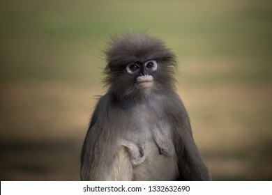 Dusky Langur (Trachypithecus obscurus) Female with a very large age.