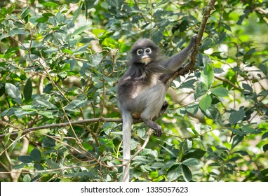 Dusky Langur (Trachypithecus obscurus) on the tree.