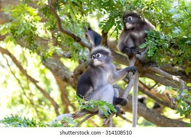 Dusky leaf monkey climbing a tree