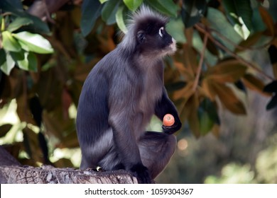 the dusky leaf monkey is holding a carrot