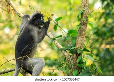 Dusky leaf monkey sitting on branch, grey fur and long tail monkey and live in rainforest, Kaeng kra Chan, Thailand