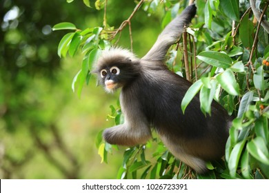 the dusky leaf monkey or spectacled Langur is listed among the cutest animals in the world