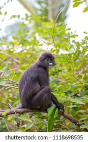 Dusky leaf monkey, spectacled leaf monkey, langur is sitting among leaves in a tree in the wild. Location: Perhentian island, Malaysia. Close up
