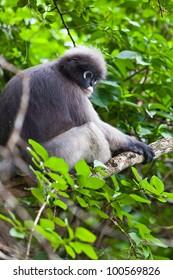 dusky leaf monkeys in tropical rainforest, thailand