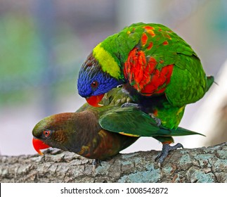A Dusky Lorikeet (Pseudeos Fuscata) and A Rainbow Lorikeet (Trichoglossus Moluccanus) Mating on A Tree Branch